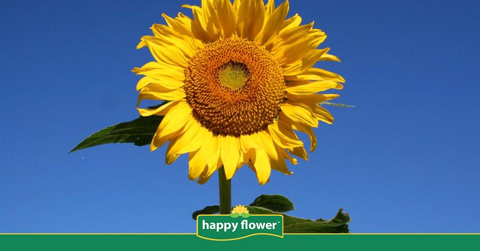 C mo sembrar un girasol en mi jard n happy flower for Como cuidar el pasto de mi jardin
