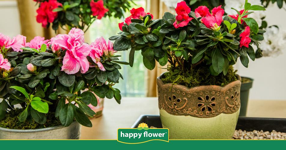La Flor de Nochebuena es originaria de México | Consejos Happy Flower