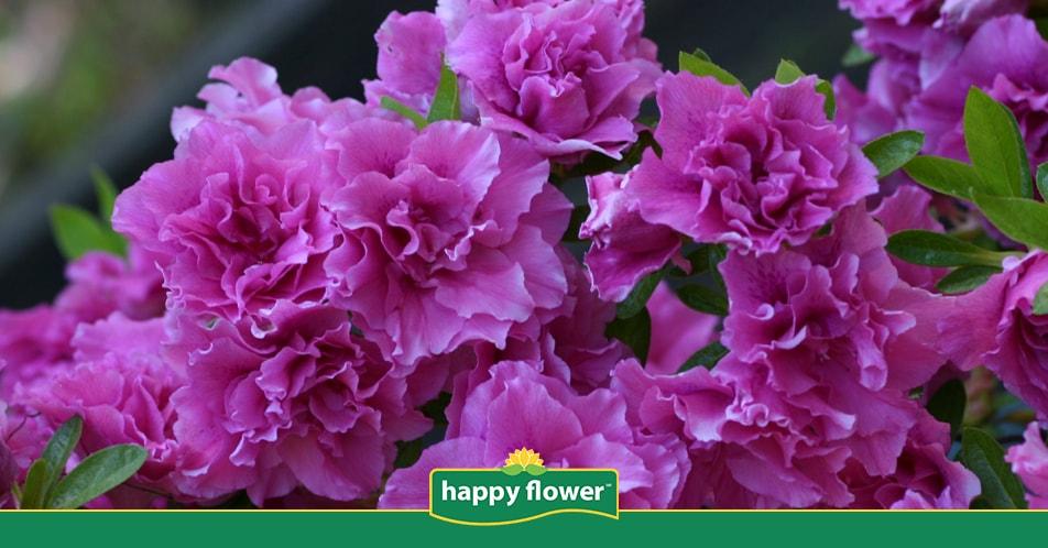 Cuidados de las azaleas consejos happy flower - Cuidado de azaleas en interior ...